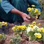کاشت گلهای فصلی از نیمه شهریور در بندرعباس آغاز می شود