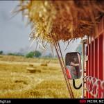 عملیات مبارزه با سن غلات درمزارع گندم هرمزگان آغاز شد