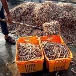 صید غیرمجاز و مرگ میگوها در ساحل سورو بندرعباس