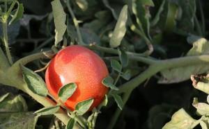 برداشت گوجه فرنگی در هشتبندی+عکس